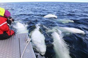 丘吉尔 白鲸.jpg