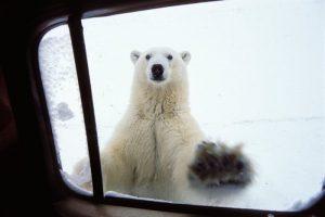 churchill 北极熊.jpg